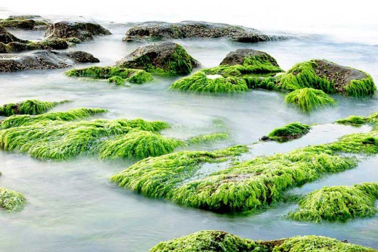 combien de protéine dans les algues