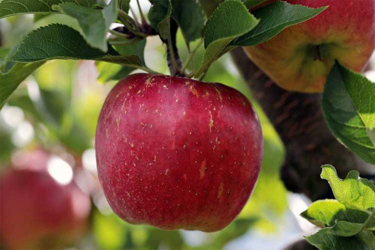 combien de protéine dans les pommes